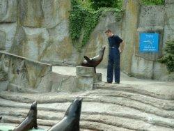 Zeeleeuwen in Artis