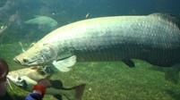Grootste zoetwatervis