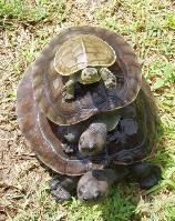 Batagur schildpadden