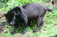 Nieuw jaguarverblijf