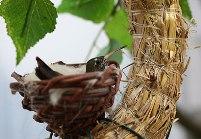 Broedende kolibrie