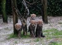 Vier cheetahs