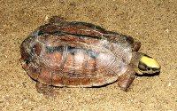 Driestreepdooschildpad