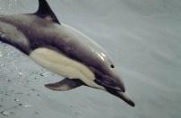 Dolfijnendieet