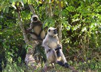 Heilige apen