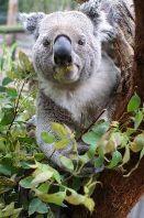 Diepe basstem voor kleine koala