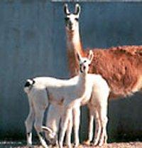 Lama lijfwacht