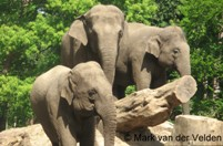 Aziatische olifant is een echte sociale netwerker