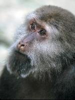 Tibetaanse makaken tweeling