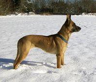 Prostaatkanker gedetecteerd door honden