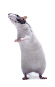 Pijnschaal voor muis