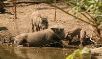 Wrattenzwijnen in Umkhosi