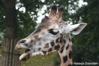 Giraffen met muziek het nieuwe jaar in