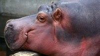 Nijlpaard Tanja is terug