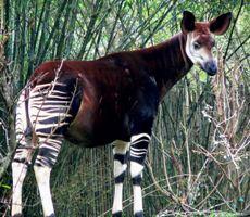 Okapi's in Safaripark
