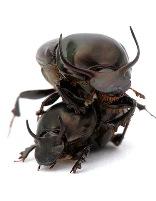 Sterkste insect in de wereld