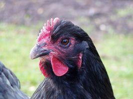 Stalboekje pluimvee voor een natuurlijk gezonde kip