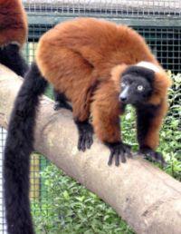 Obesitas in lemuren