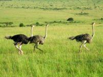 Struisvogels weer terug