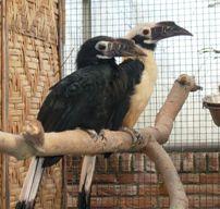 Jongen voor bedreigde neushoornvogels