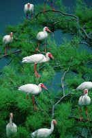Effect kwik op gedrag ibissen
