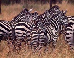 Het waarom van zebrastrepen
