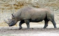 Keniase neushoorns gechipt