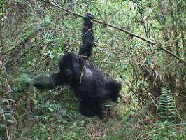 Jonge gorilla's slopen een val