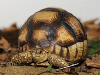 Boegsprietschildpadden