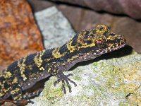 Bumblebee gecko