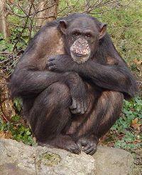 Midlife crisis bij primaten