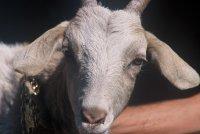 Slimme geiten