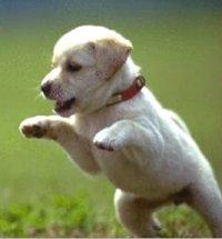 Chippen pups wordt verplicht