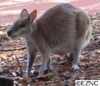Handopfok wallabi's en kangaroe's