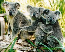Koala gebrul
