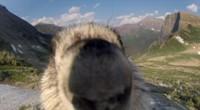 Wereldberoemde marmot