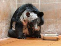 Hersenoperatie bij beer