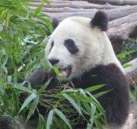 Melk voor panda's