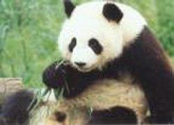 Panda geboren in Weense zoo